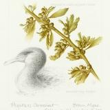 Flightless Cormorant and Brown Algae