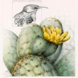 Floreana Mockingbird and Opuntia Cactus