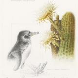 Galapagos Penguin and Lava Cactus
