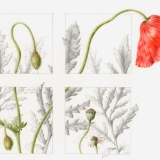 'Umbrian Poppy'