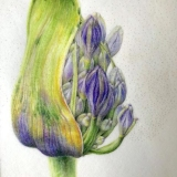 'Agapanthus for Tommy'