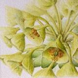 Euphorbia characais \'Wolfenii\'